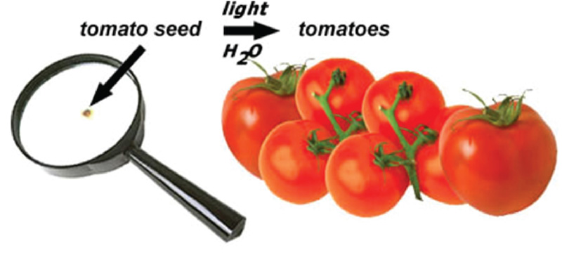 Tomatoes - from Seed to Fruit